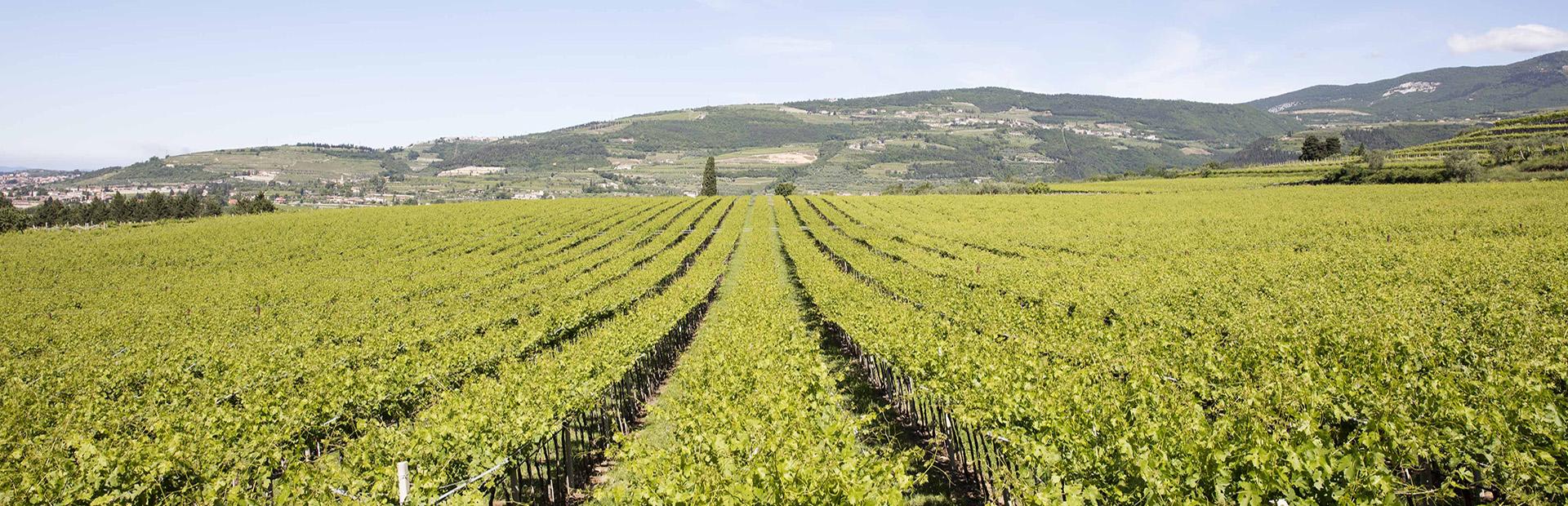 vigne antichello